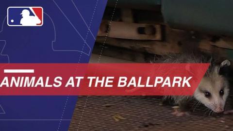 Bats, cats and more animal moments at the ballpark