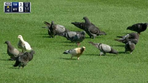 TOR@NYY: Pigeons snack on the field at Yankee Stadium