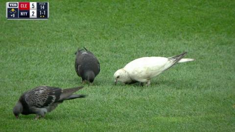 CLE@NYY: Pigeons enjoy the game in center field