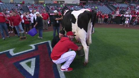 MIN@LAA: Parker takes part in cow milking contest